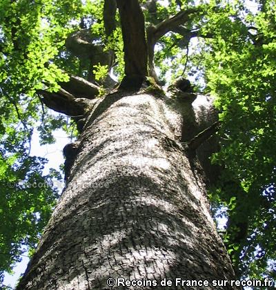 Chêne de Genevoivre