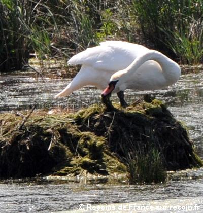 Les cygnes muets de l'étang du Terrouin