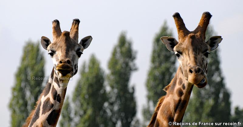 Girafes de la réserve de Thoiry