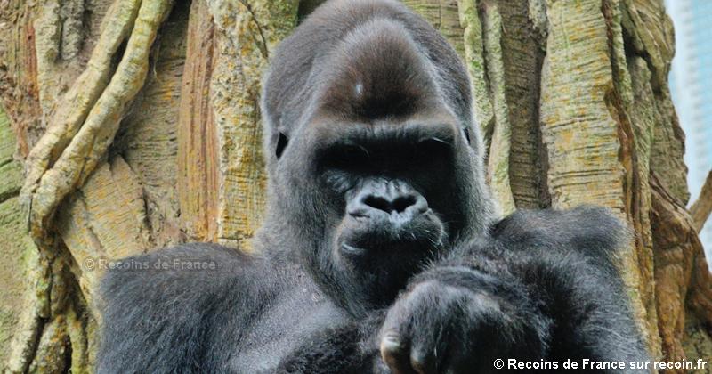 Gorilles du Zoo d'Amnéville