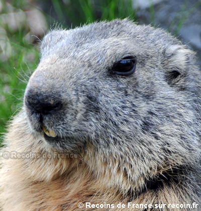 Marmottes de l'Orgère