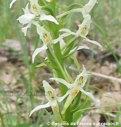 Orchidées des Maures