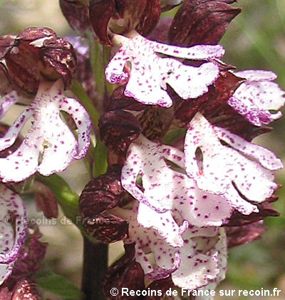 Orchid�es des Maures