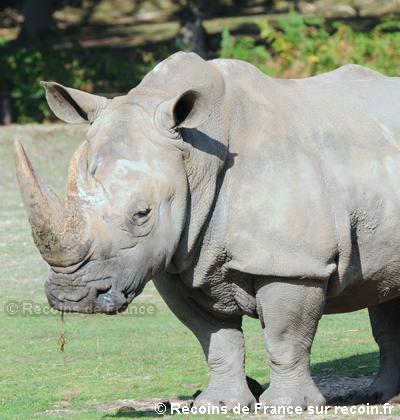 Rhinocéros de la réserve de Sigean