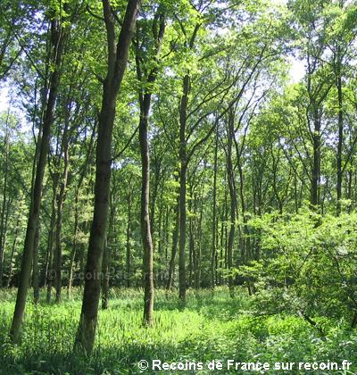 Daims de l'Ill Wald