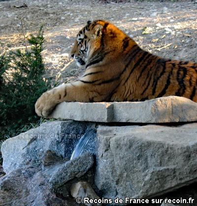 Tigres de Sibérie du Safari de Peaugres