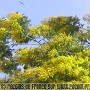 Mimosas de Binic