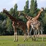 Girafes de la r�serve de Thoiry