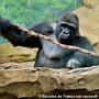 Gorilles du Zoo d'Amn�ville