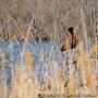 Ibis falcinelles du centre du Scamandre