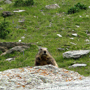 Marmottes de l'Org�re