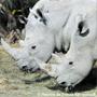 Rhinoc�ros de la r�serve de Sigean